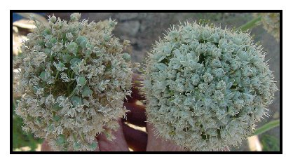 Photo of limited seed set on an umbel