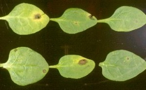 Fig. 2. Anthracnose on young spinach leaves caused by Colletotrichum dematium. Photo courtesy of Mike L. Derie.