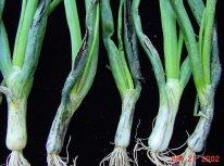 Smut on onions (photos courtesy of L. du Toit)