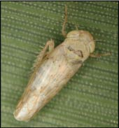 Fig. 1. Beet leafhopper (2.3 mm long) (photo courtesy of A. Jensen, WA State Potato Commission)