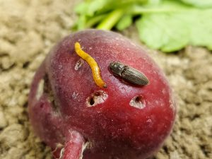 Wireworm adult and immature on radish.
