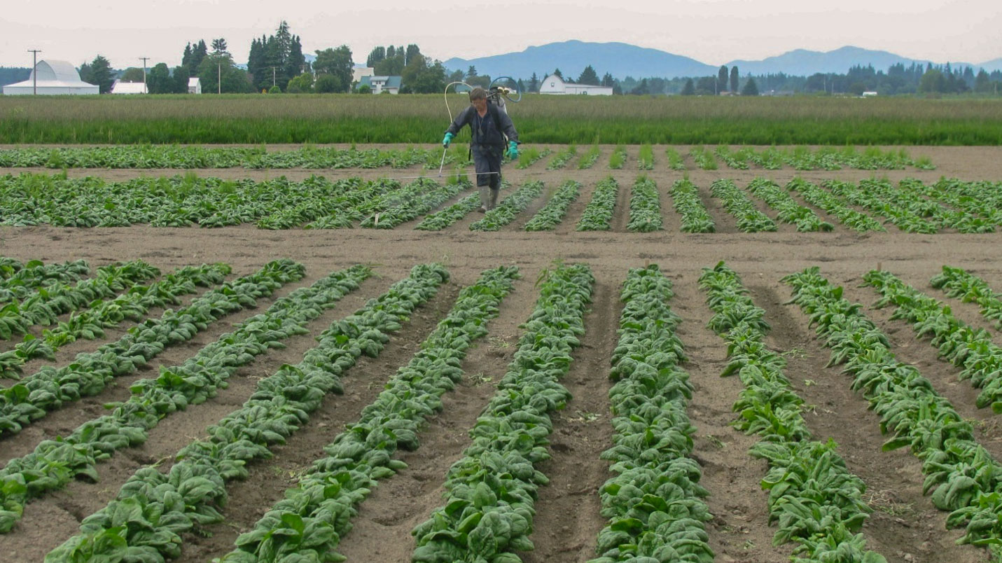 Man in coveralls using a backpack sprayer in a field of spinach.