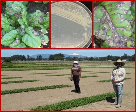 Close-ups of diseased chard flank agar plate with live culture; two women stand next to text plot.