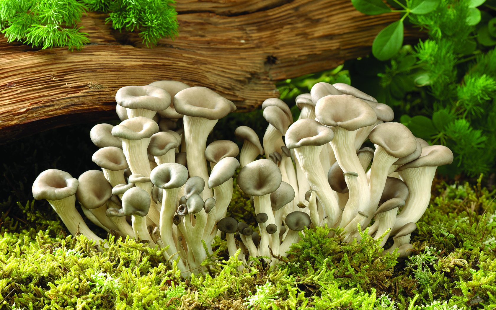 When The Wild Things Grow Seacoastonline Com Mushroom Newswire