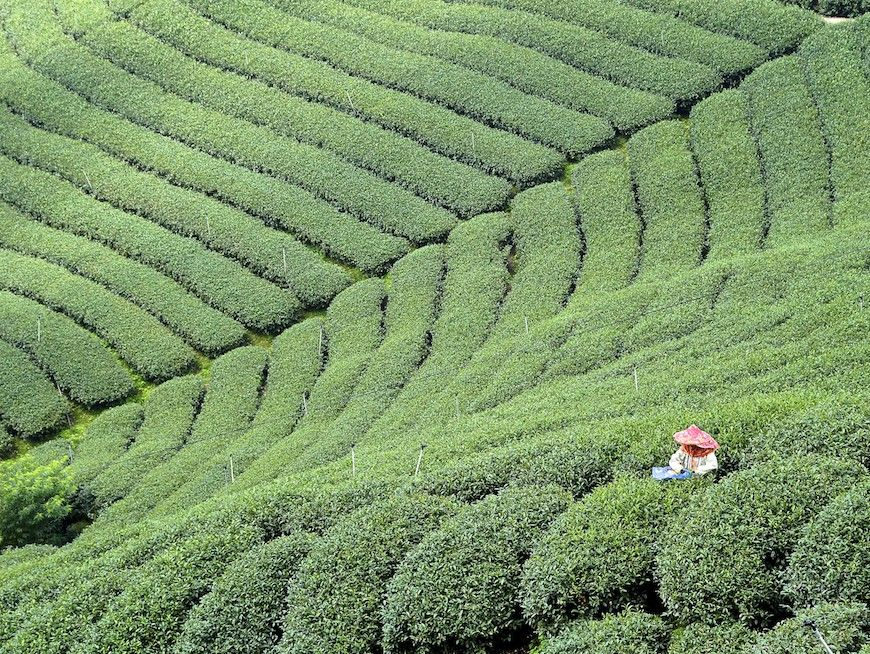 Experience lush green tea plantations