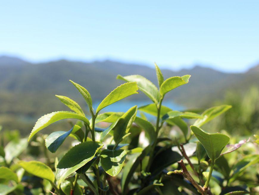 Scenic walk around the tea field