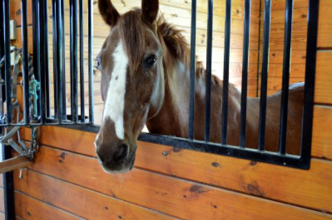 This quarter horse is one of nine horses and ponies at Apollo Farms in Palmerton. KRISTINE PORTER/TIMES NEWS