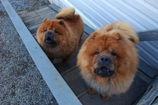 Gail Maholicktimes News Pazzazz Chow Chow Puppies Are Engaging