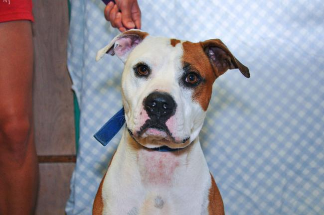 """Benny, Carbon County Animal Shelter """"I'm a sweetheart, even though I don't like being kenneled. Once I'm out, I'll be your best friend. I'm a 2-year-old neutered Pitbull looking for someone who would care for me and take me on long walks."""""""