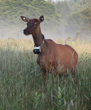 This adult cow elk was recently fitted with a collar that contains GPS tracking capability and a small camera to record video and audio before falling off the elk in about 75 days, at which time the recordings and readings will be retrieved by the…