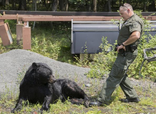 Bears, bears, everywhere: Game commission is seeing an