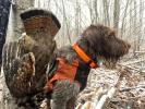 Scenes like this may become more regular in the Pennsylvania woods, as the PGC and DCNR are partnering to develop grouse habitiat. LISA PRICE/SPECIAL TO THE TIMES NEWS