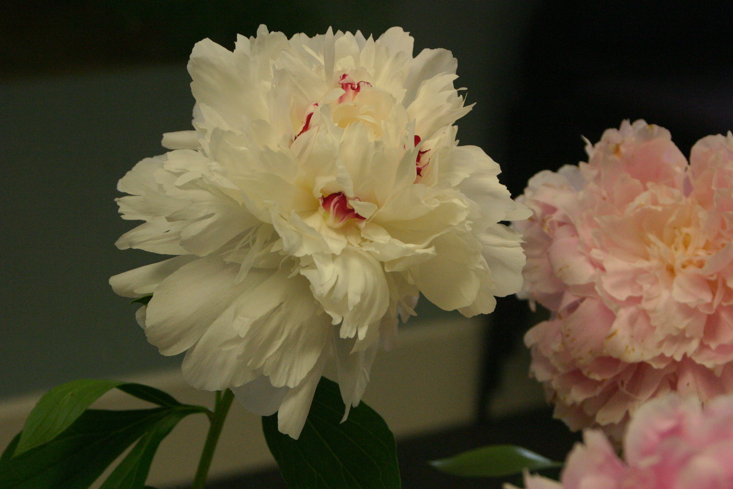Town country garden club celebrating golden anniversary with deb osbornes large white peony with hints of red and pink at its center earned the sandy hook resident a blue ribbon and an award of merit in izmirmasajfo