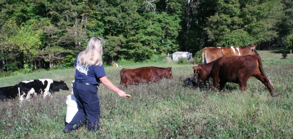 Carolee Mason, the municipal animal control officer, attempts to lure some stray cattle walking near Pole Bridge with a piece of bread on Friday, September 29.   (Bee Photo, Gorosko)
