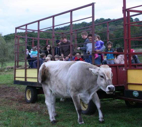 Curious cattle came right up to a hay wagon that carried Trinity Day School families on a hayride through the pastures at Castle Hill Farm at the school's Fall Family Festival.    (Bee Photo, Gorosko)