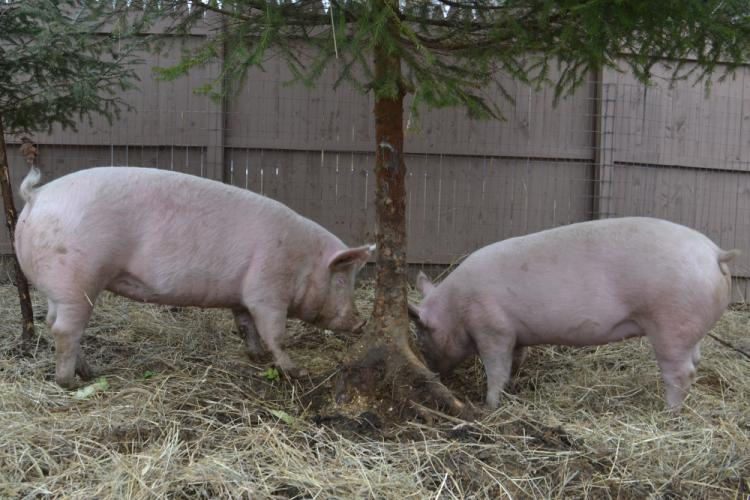 From left are adoptable pigs Little Beanie Tofu and Dolphin having fun rooting in the dirt around a tree planted at their temporary home in Newtown, on March 30. The two bonded pigs were rescued last year from an agricultural show where they were…