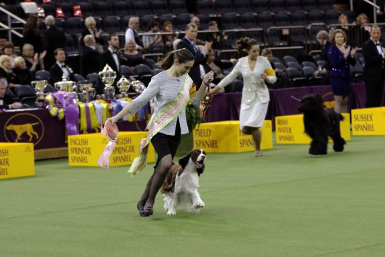 Lily Mancini with her English Springer Spaniel Liam won Best Junior Handler under Judge Clifford W. Steele on February 13 at Madison Square Garden. (Jack Grasso photo)