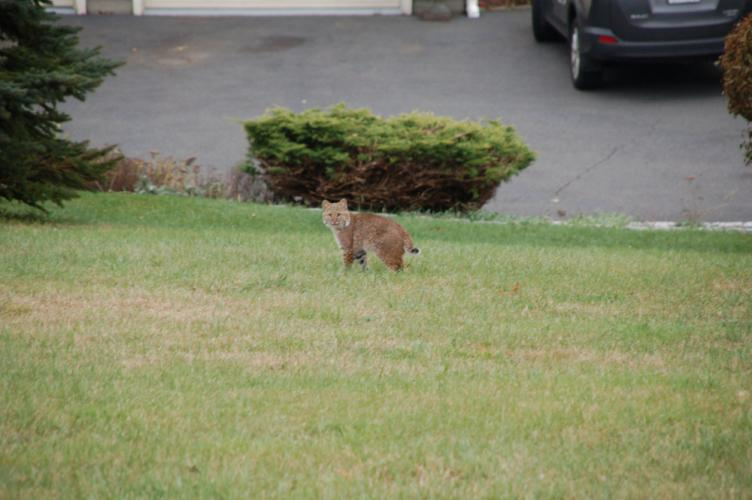 This bobcat was one of three frolicking about a Hattertown Road yard this week.