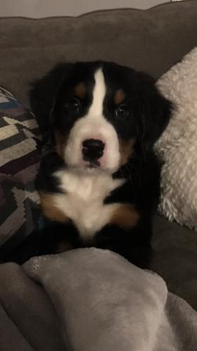 Rex, a Bernese Mountain pup, is the newest member of the canine staff at the A&A and Newtown Bee offices.