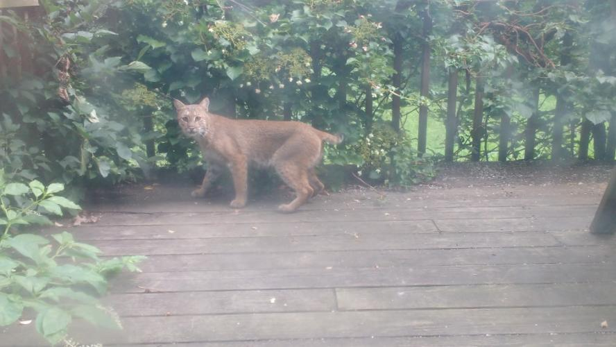 This bobcat surprised a Platt's Hill Road resident earlier this week.