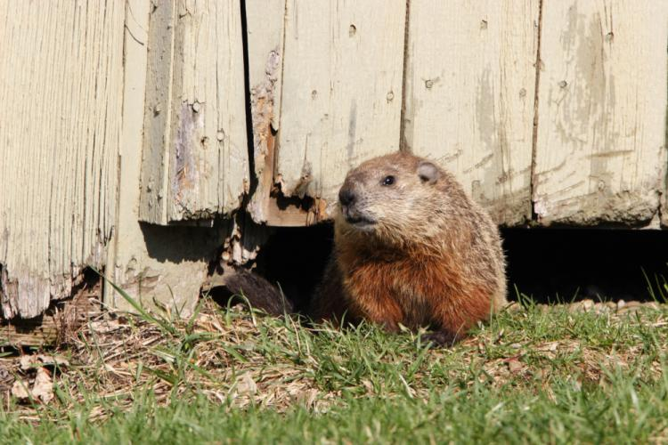 Groundhogs do more then predict the weather. They can dig 30-foot-long burrows, and also are known to be garden pests. (Paul J. Fusco/CT DEEP-Wildlife photo)