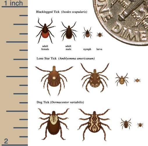 This chart from the CDC and accompanying image illustrate all too well why it is both challenging to locate ticks - especially the tiny nymph - on a person or pet, and why the Newtown Health District advises residents to do a tick check on…