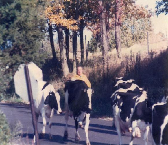 Pictured is the late Tom Kearns, in the 1980s, walking the Holstein dairy cows down Osborne Hill Road to be milked in the afternoon at Kearns Farm. (photo courtesy Dan Kearns)