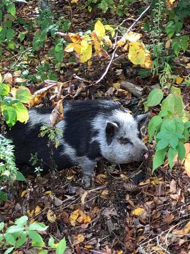 This pig was spotted wandering in a Woodbine Lane yard, Tuesday morning.  (Kevin Boughan photo)