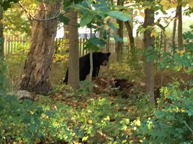 A bear paid a visit to a Park Lane residence recently.
