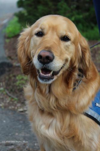 SH_Newtown-Comfort-Dog-Team-Maggie-update-Maggie-WATERMARKED.jpg