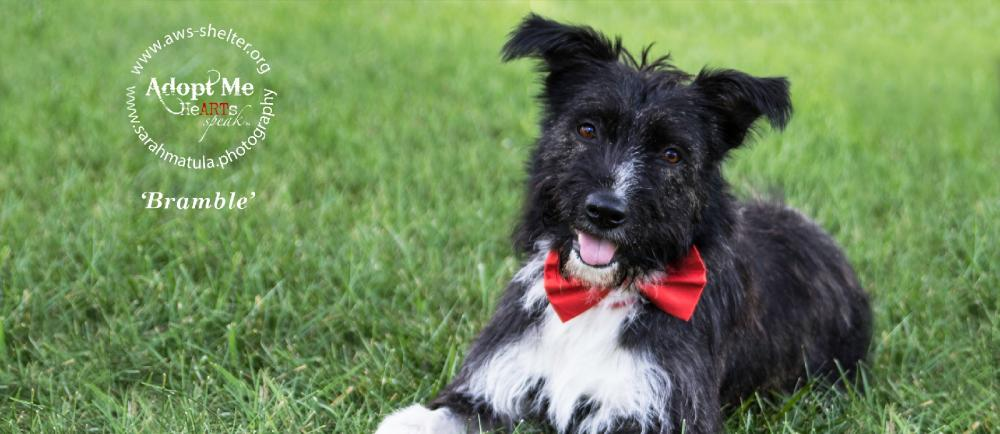 Four-year-old Bramble shows off her silly side with a bright red bow tie. She is still up for adoption through Animal welfare Society in New Milford,  (Sarah Matula photo)