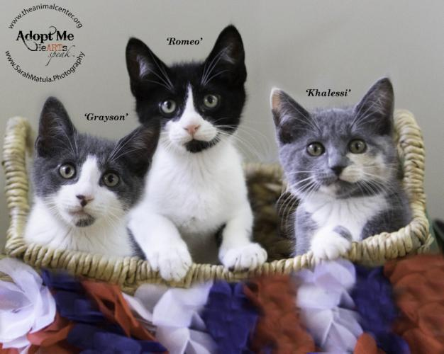 Kittens Grayson, Romeo, and Khalessi from the Animal Center in Newtown pose politely in a basket. All have since been adopted.  (Sarah Matula photo)
