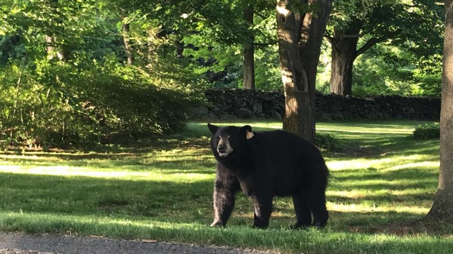 This bear took a stroll along The Boulevard on June 12, and made the rounds of other nearby neighborhoods and businesses.	(Liia Raamot Mowery photo)