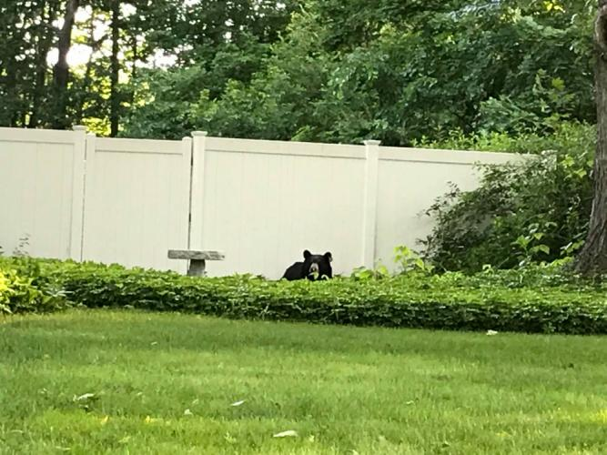 Peek-A-Boo! A bear peers over a hedge near The Boulevard during its visit to the center of Newtown on June 12.  (Liia Raamot Mowery photo)