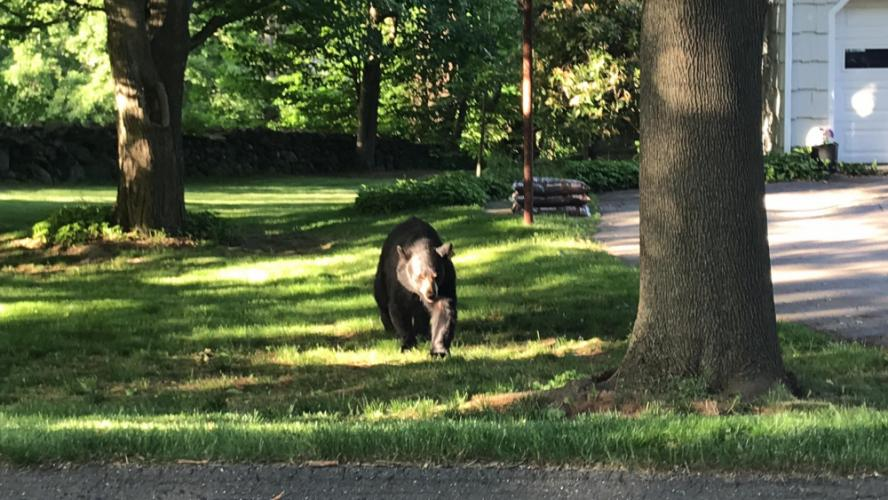 A bear walks toward the phtographer as it visits The Boulevard neighborhood.  (Liia Raamot Mowery photo)