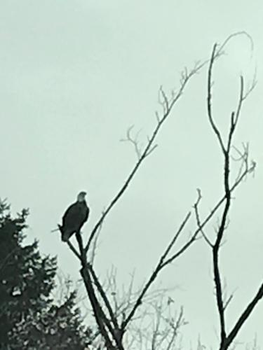 A bald eagle perched high on a tree overlooking the town earlier this week.