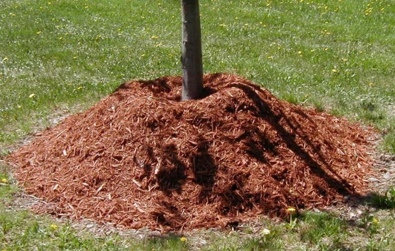 Piling mulch around the base of a tree can lead to problems for the tree's root system and trunk, professionals in the landscaping business say.