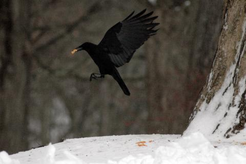 A crow flies off with a salty cheese snack found at an area bird feeder. Seeds, fruits, and nuts provide energy for birds in winter, but salt is also a necessary mineral for these creatures.