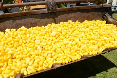 Ready for launch: 3,458 individually numbered yellow rubber ducks were dumped into the Pootatuck River around 2:30 pm Saturday, May 23. Brookfield resident Al Sparaco was the big winner this year, holding the ticket that corresponded the to duck…