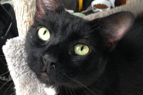 Pictured is the Animal Center's adoptable cat, Bodi.