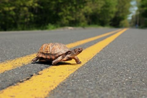 Female turtles are more commonly seen crossing the road to lay eggs during the spring and early summer. (Photo courtesy of Paul J. Fusco/DEEP)