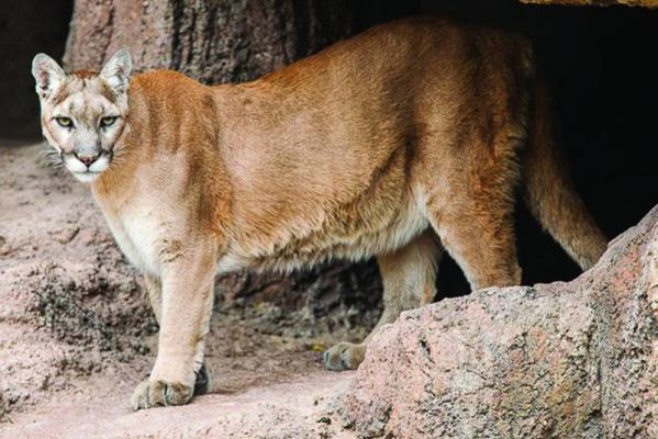 Greene History Notes The history of cougars and wolves in