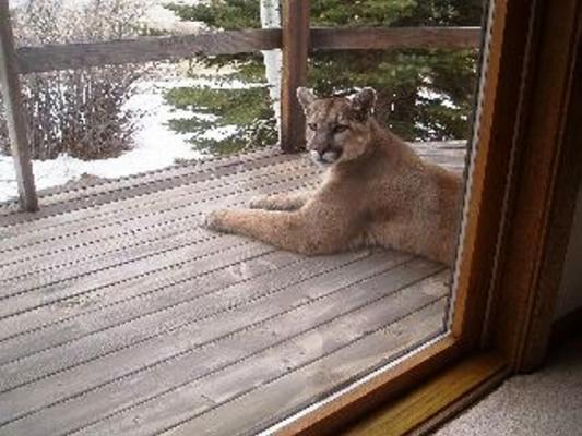 Cougars considered extinct in region