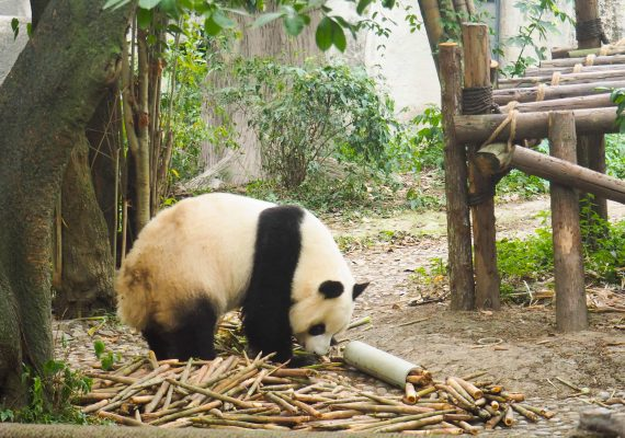 Cool Chengdu Attractions – Cute Pandas, Spicy Peppers and More!