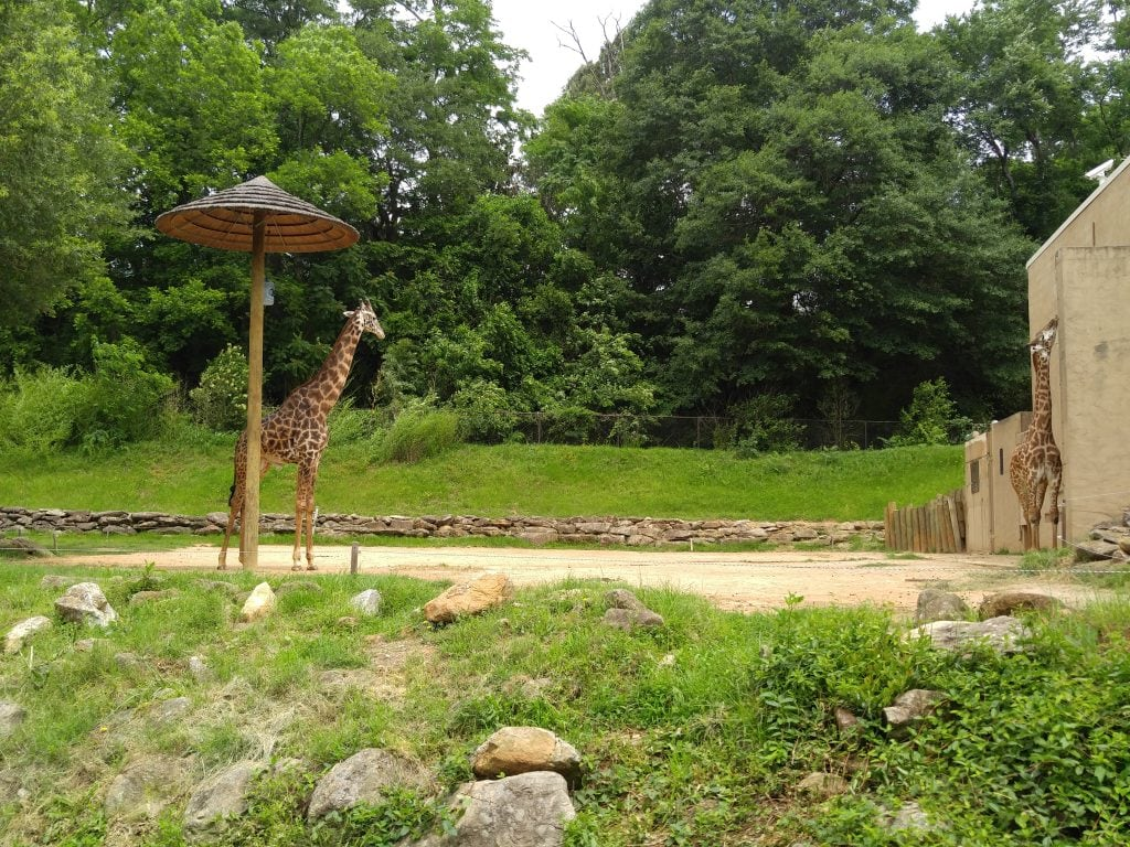 giraffes Greenville Zoo Greenville South Carolina with kids