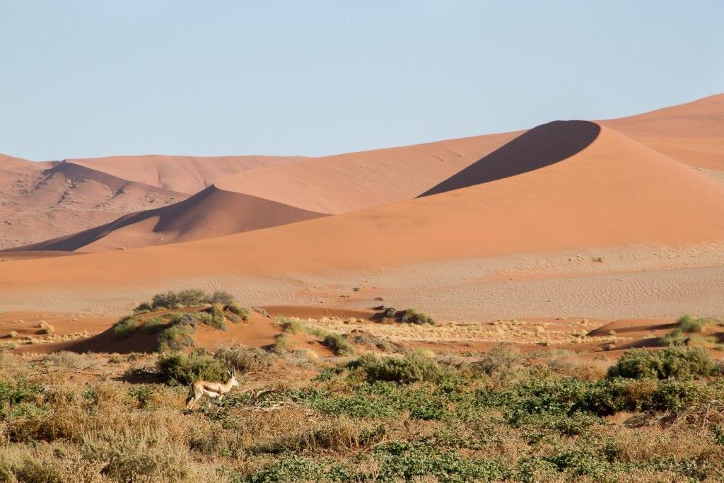 African Safari Holidays: Springbok Namib Desert