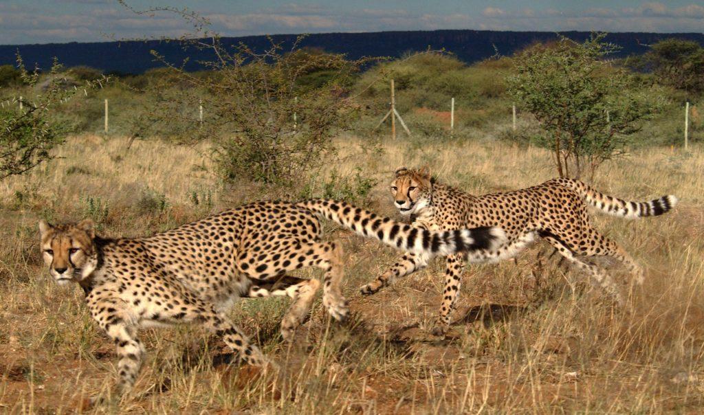 African Safari Holidays: Two Cheetahs Running