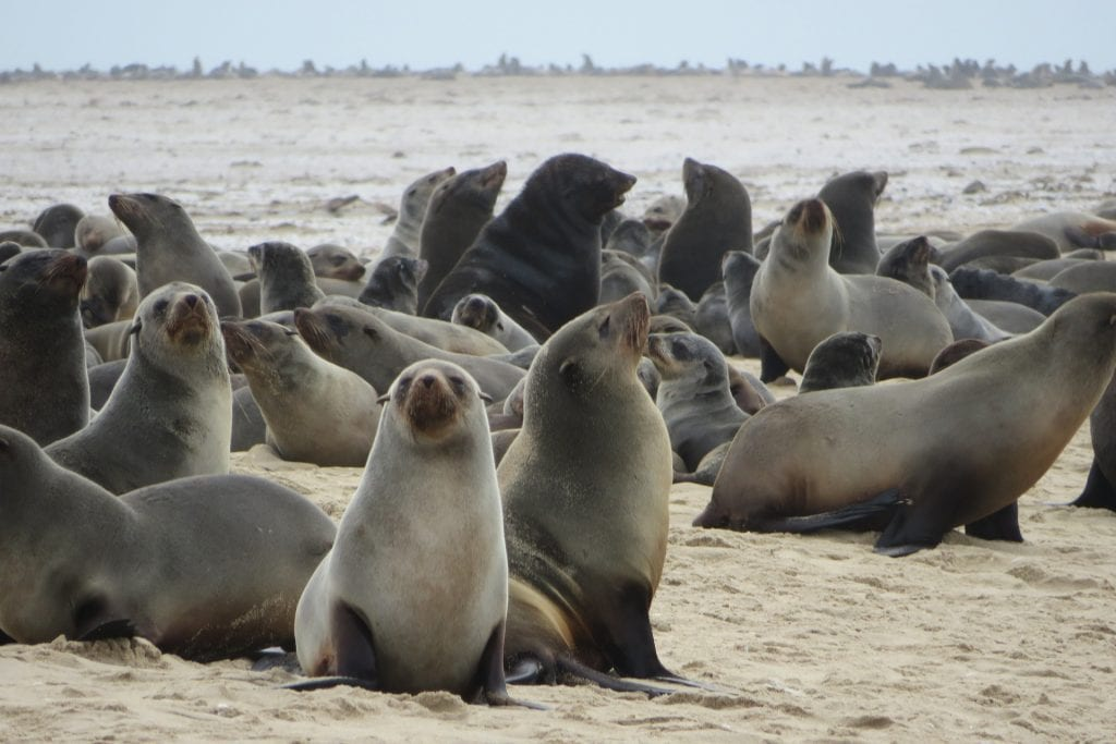 African Safari Holiday: Seal Colony at Cape Cross
