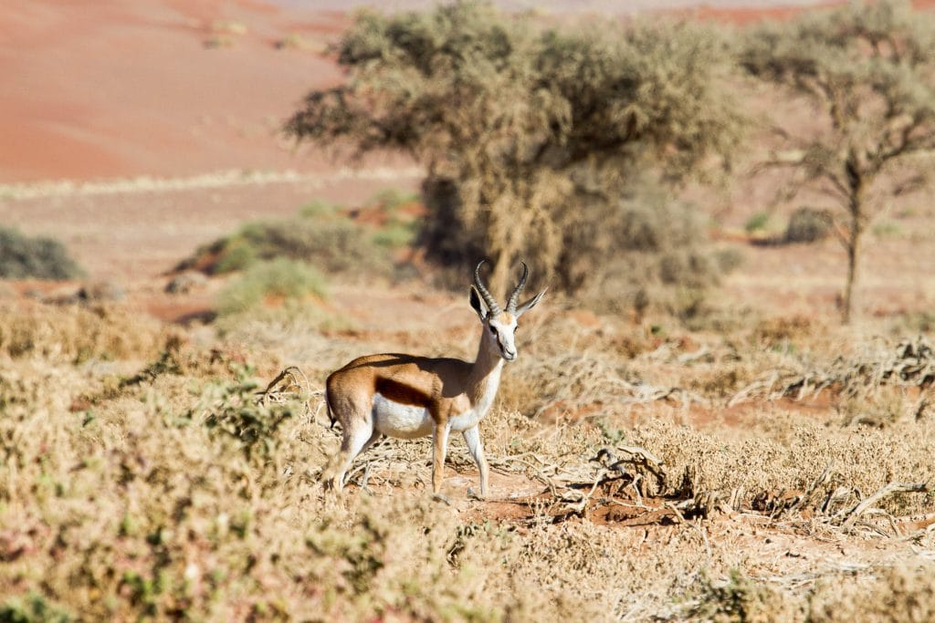 Africa for Kids: Springbok in the Namib Desert