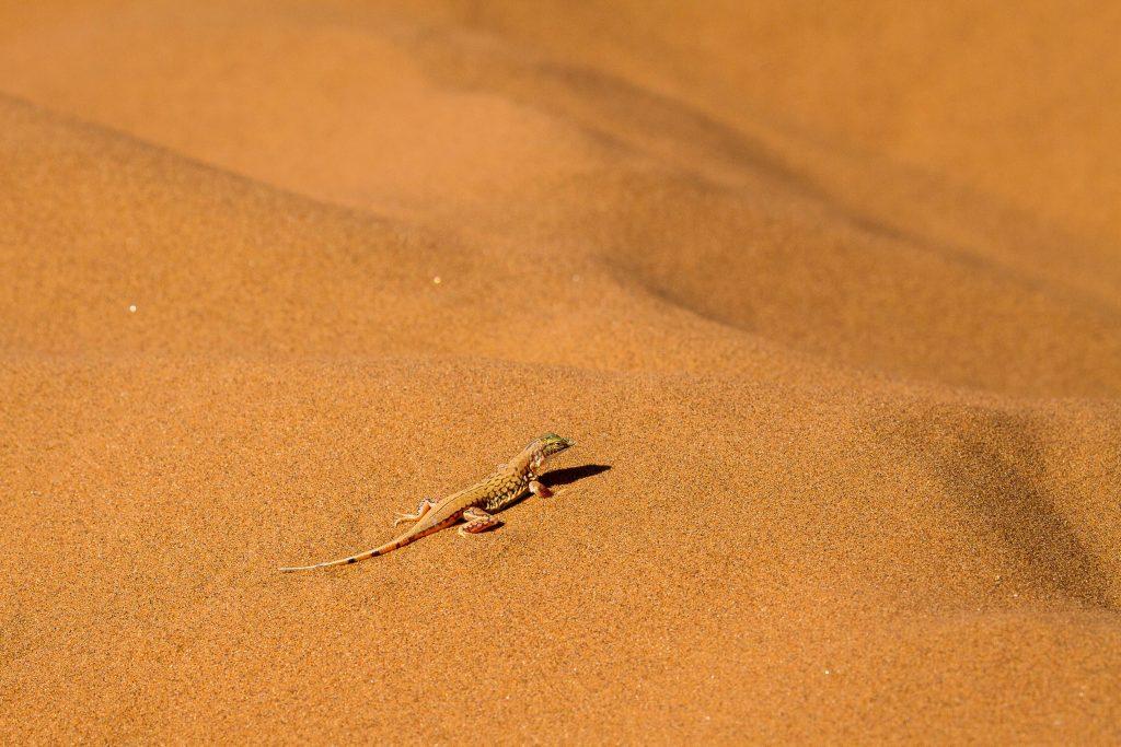 Africa for Kids: Lizard in the Namib Desert.